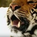 The tiger that appeared in the Esso adverts has died