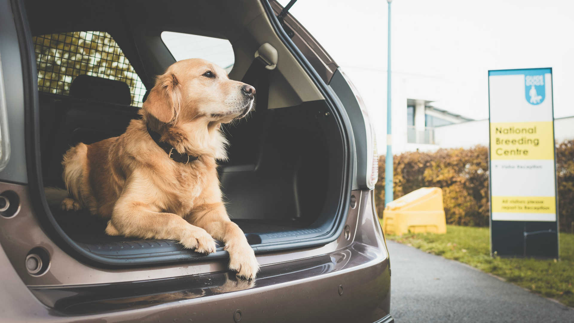 Guide Dog in the back of a Toyota Prius