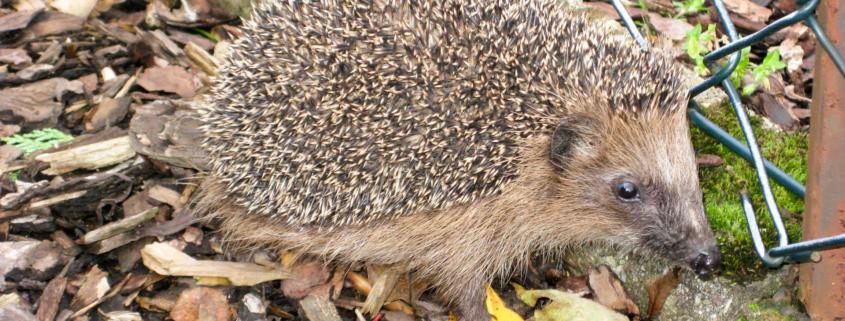 Housebuilder commits to hedgehog highways