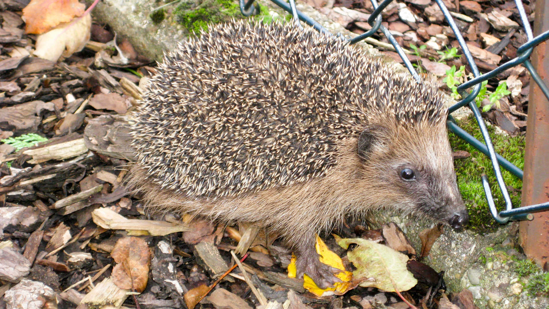Housebuilder commits to hedgehog highways