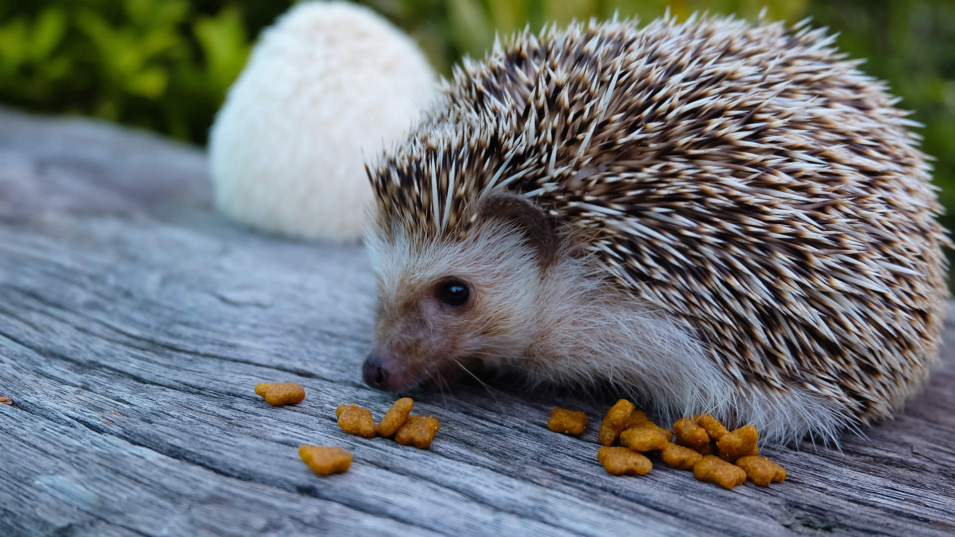 How to help a hedgehog